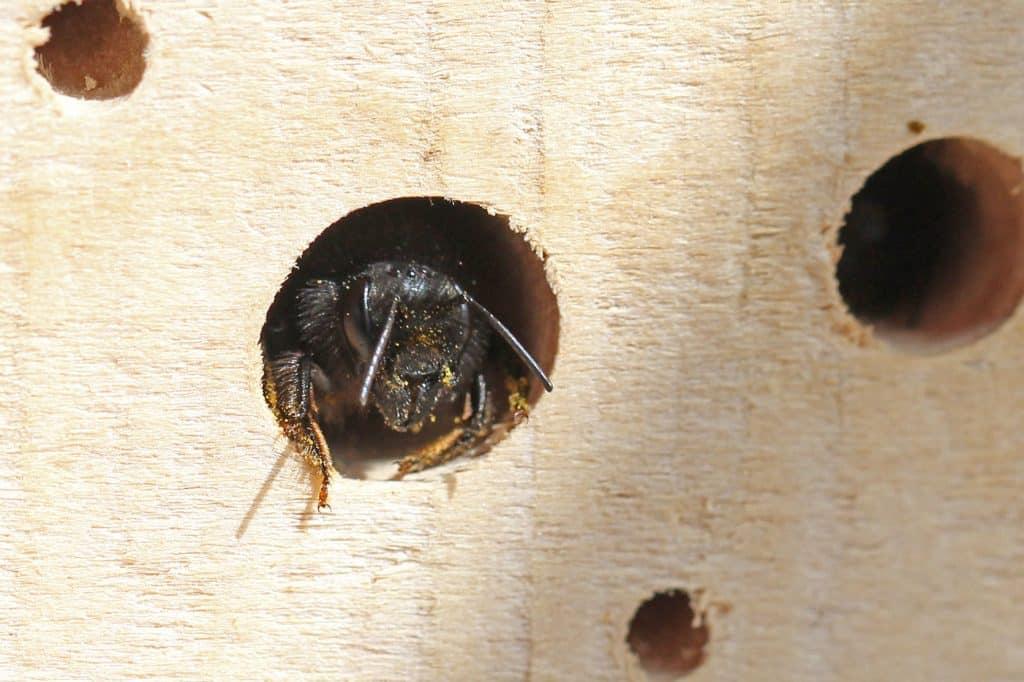 Eine Gehörnte Mauerbiene vor dem Ausflug.