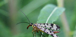 Eine Skorpionsfliege auf einem Blatt.
