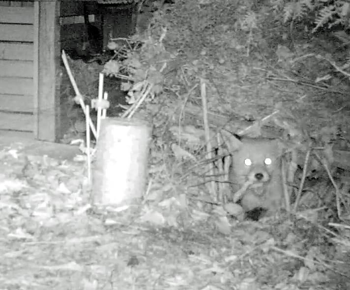 Fuchs liegt im nächtlichen Garten.