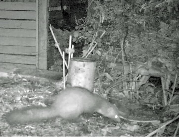 Ein Marder im nächtlichen Garten.