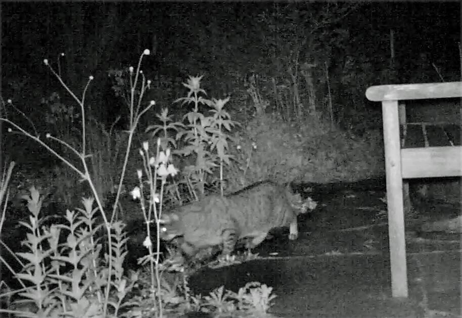 Eine Katze im nächtlichen Garten auf der Jagt am Teich.