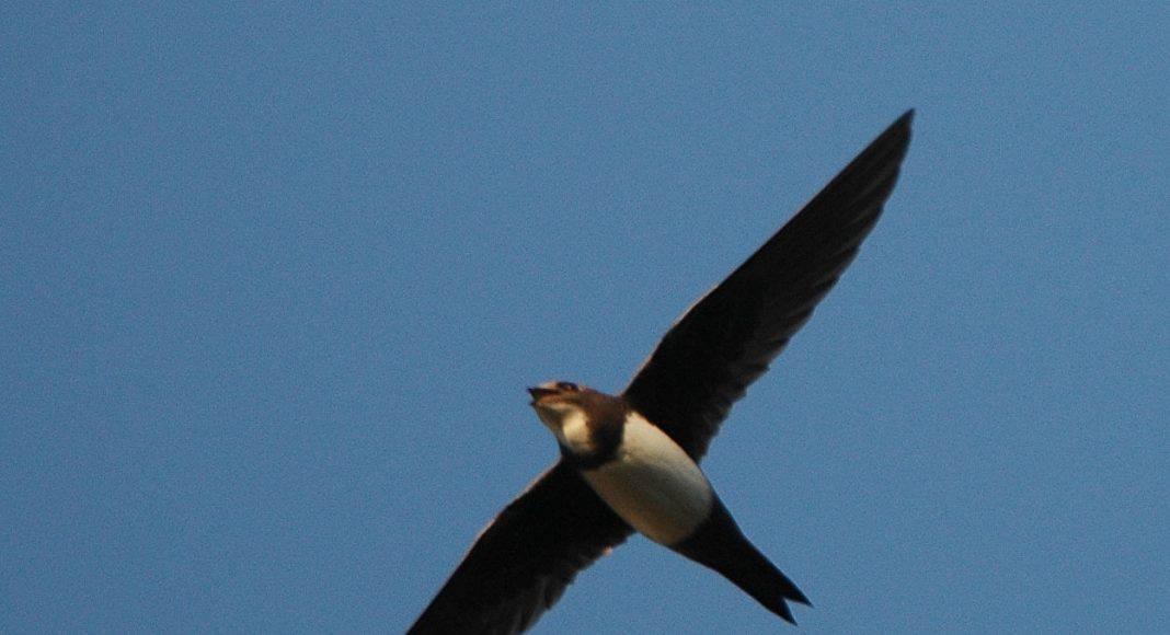 Der Vogel Alpensegler am HImmel.