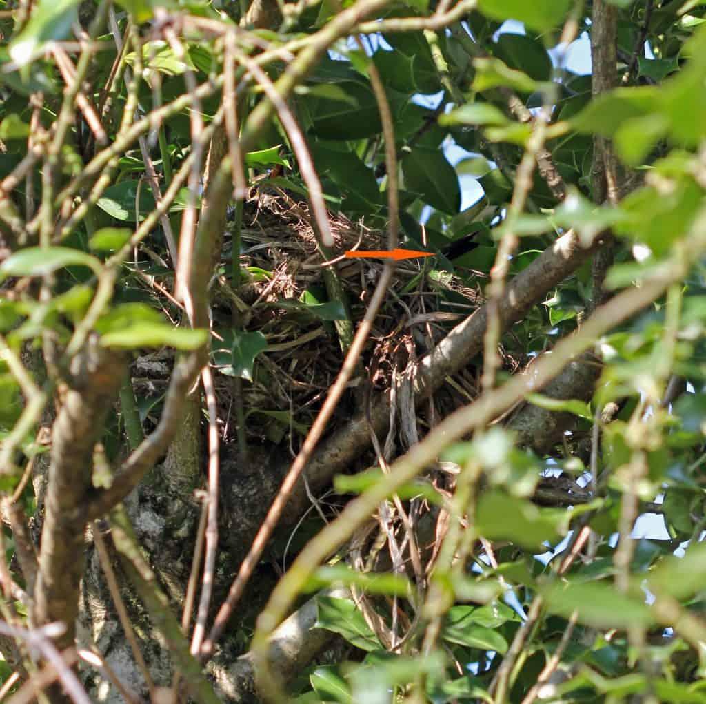 Ein Amselnest gut versteckt im Baum.