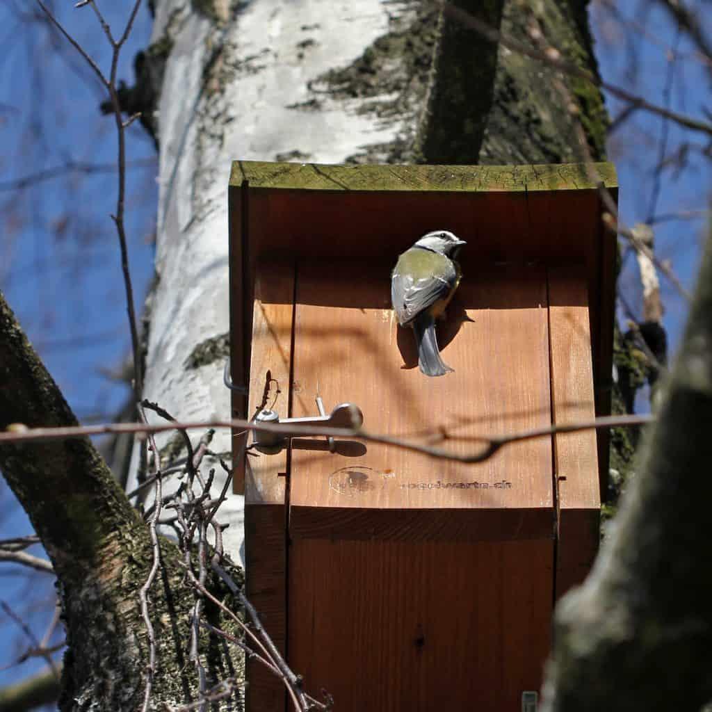 Blaumeise am Eingang eines Vogelhäusschens.