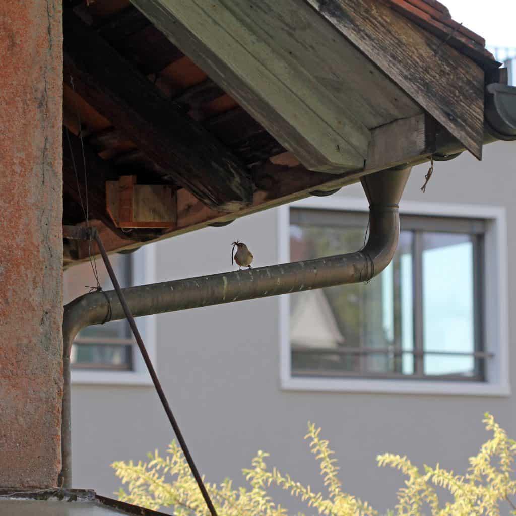 Ein Hausrotschwanz mit vollem Schnabel.