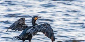 Ein Kormoran sitzt auf Steinen im Wasser und hält die Flügel ausgebreitet.