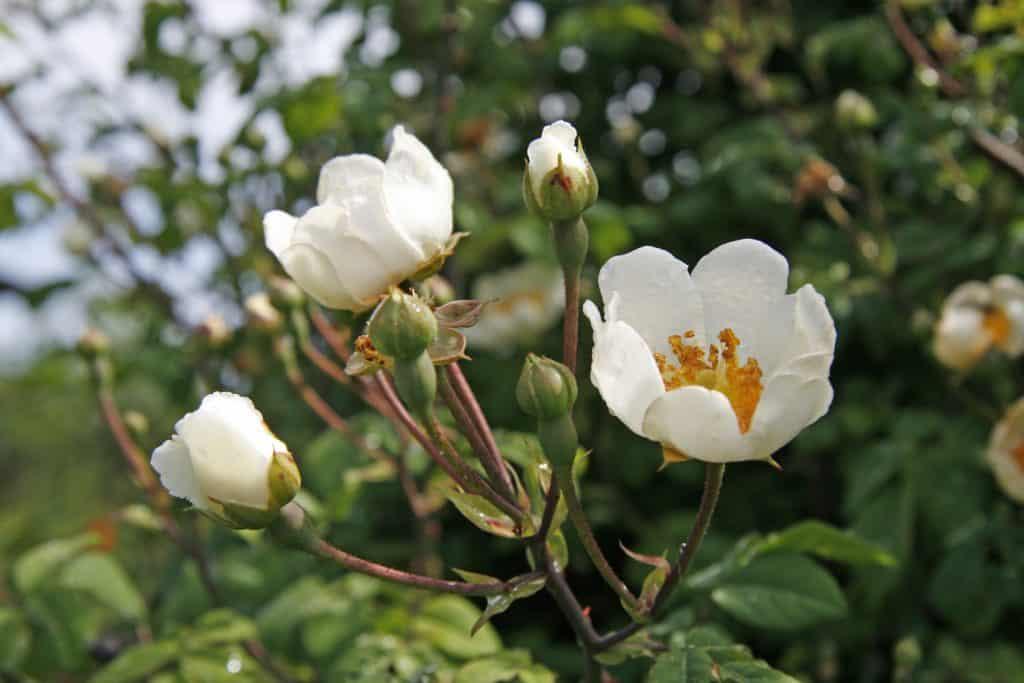 Blüten einer Feldrose.
