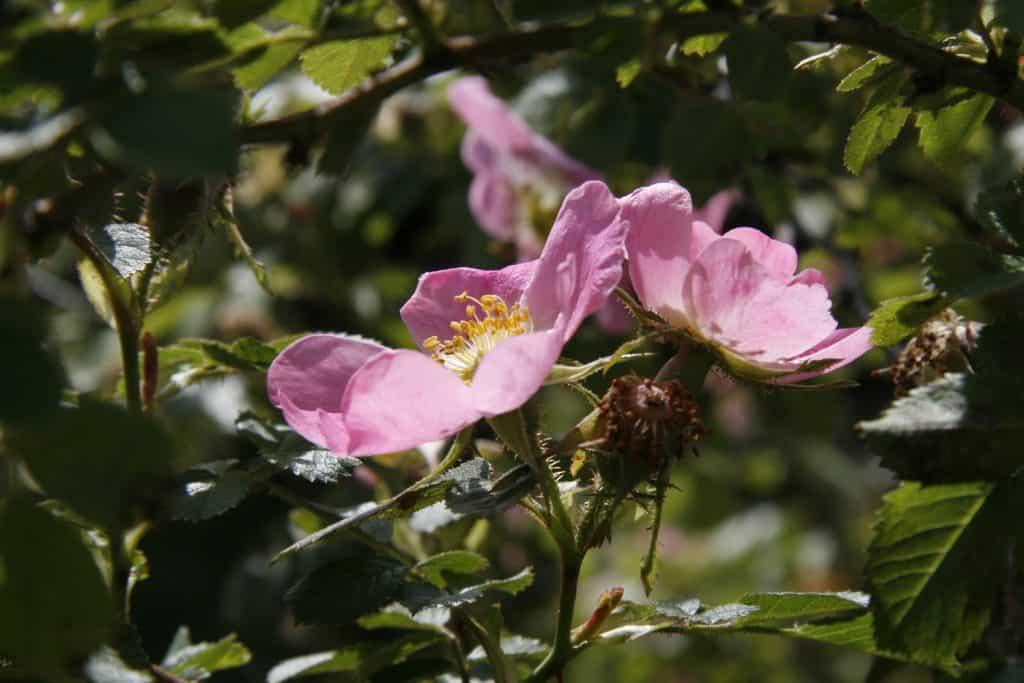 Die Blüten einer Weinrose.