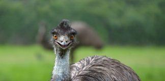 Emu machen trommelnde Geräusche, um sich zu verständigen.