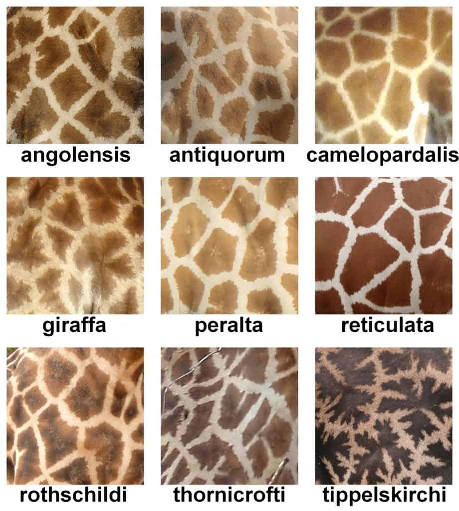 Unterschiedliche Fellzeichnungen bei den Giraffenarten.
