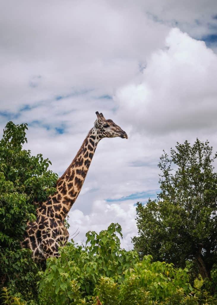Trotzt des langen Halses hat der Giraffe nicht mehr Halswirbel.