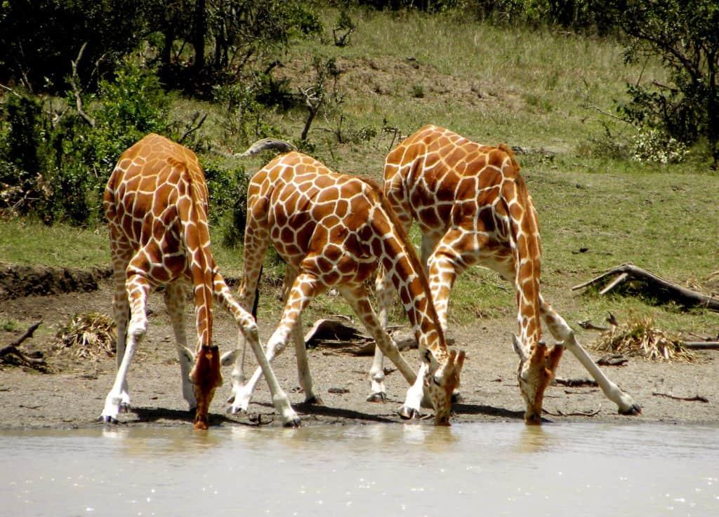 Das Trinken ist für die Giraffen nicht gerade einfach.