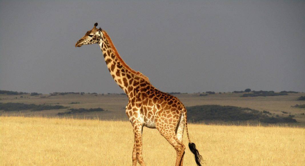 Spannendes über die Giraffe zum Tag der Giraffe.