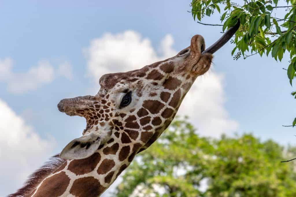 Die Giraffen haben eine lange Zunge.
