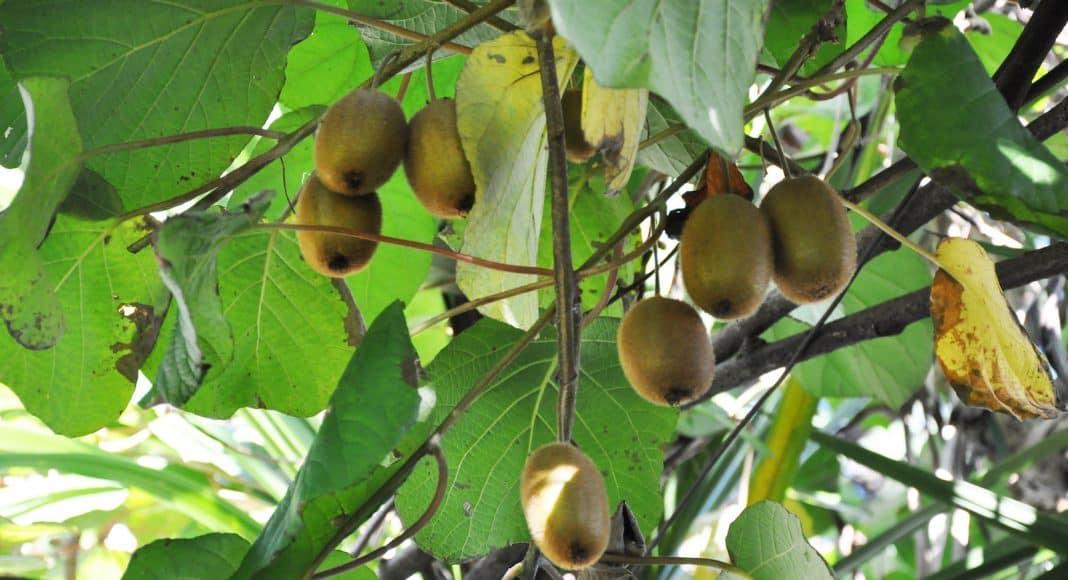 Die Schlingpflanze Actinidia deliciosa mit Kiwis dran