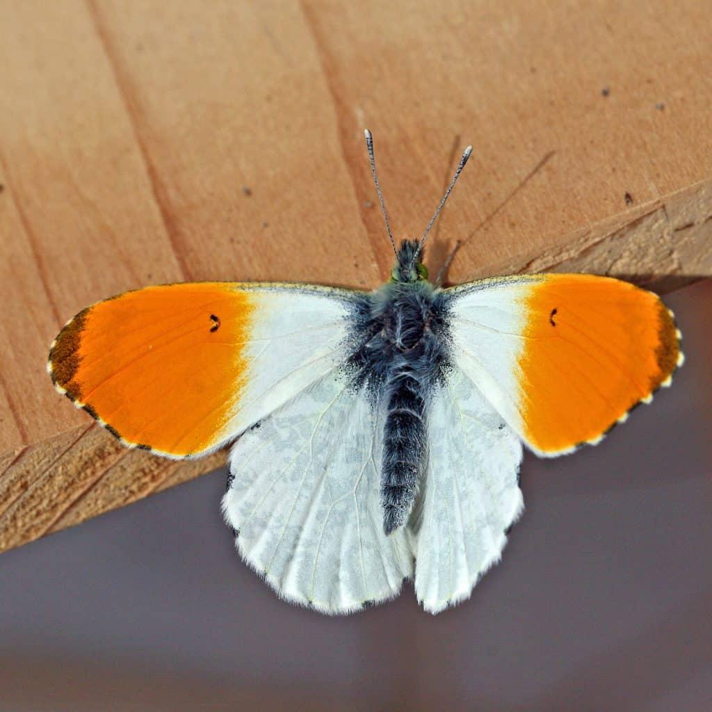 Ein Aurorafalter in orange-weiss.