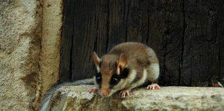 Der Säugetieratlas soll beispielsweise helfen aufzuklären, wo das Verbreitungsgebiet des Gartenschläfers ist.