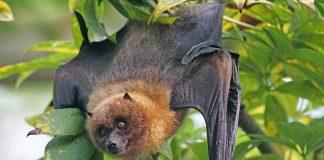 Fledertier, ein Flughund, hängt kopfüber im Baum.