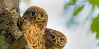 Die Steinkäuze nahmen dank Schutzprojekten von BirdLife zu.