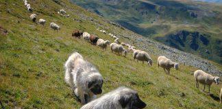 Hunde schützen die Herde.