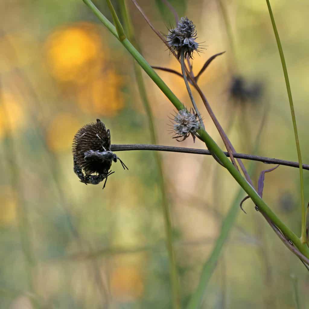 Die Wildbiene findet in der verdorrten Blüte Schutz in der Nacht.