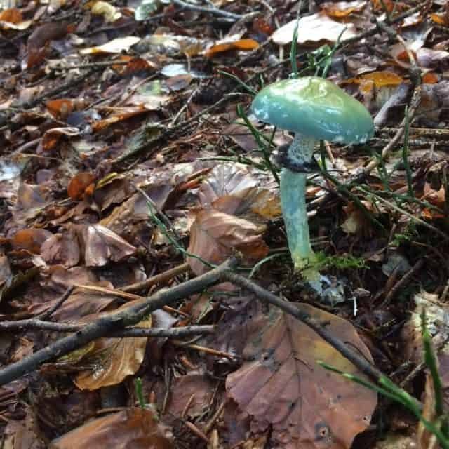 Der Grünspan-Täuschling