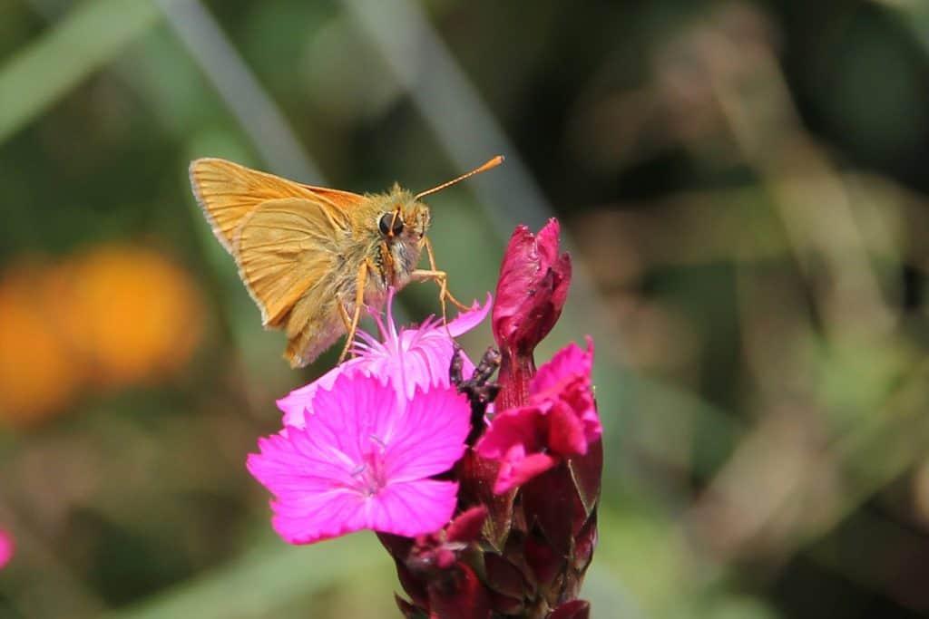 Der Schmetterling Dickkopffalter auf einer Blüte.