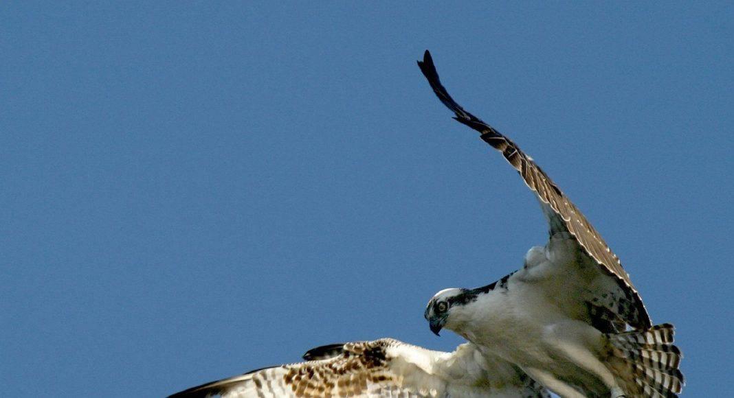 Das Schutzgebiet FANEL soll besser geschützt werden, damit Fischadler wie im Bild weiterhin vorbei kommen.