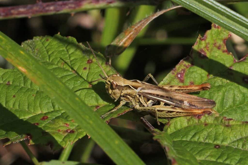 Nachtigall-Grashüpfer auf Pflanze.