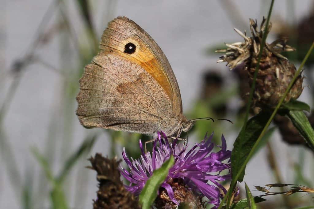 Der Schmetterling Ochsenauge auf Blume.