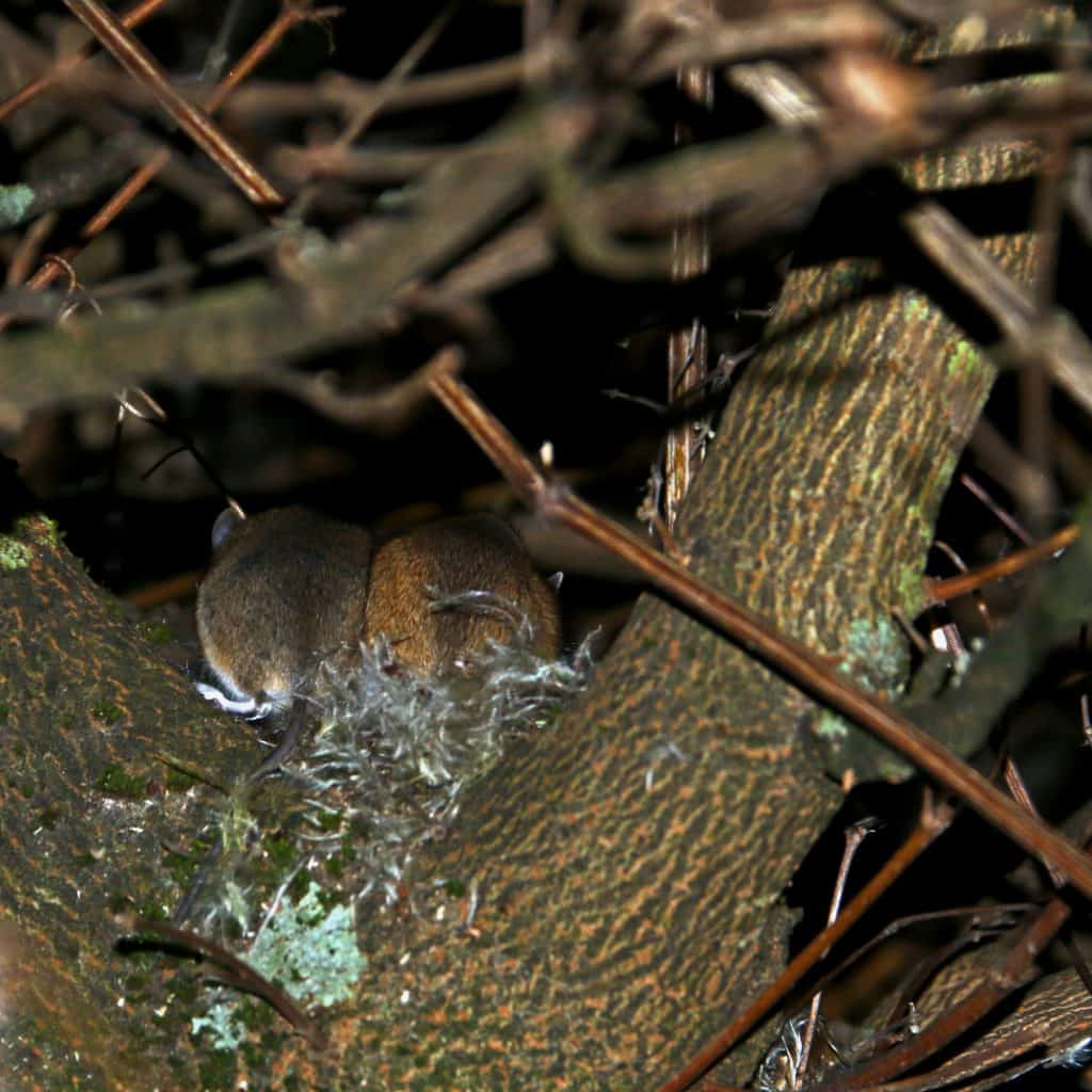 Zwei Waldmäuse sitzen in dem Nest auf dem Baum.