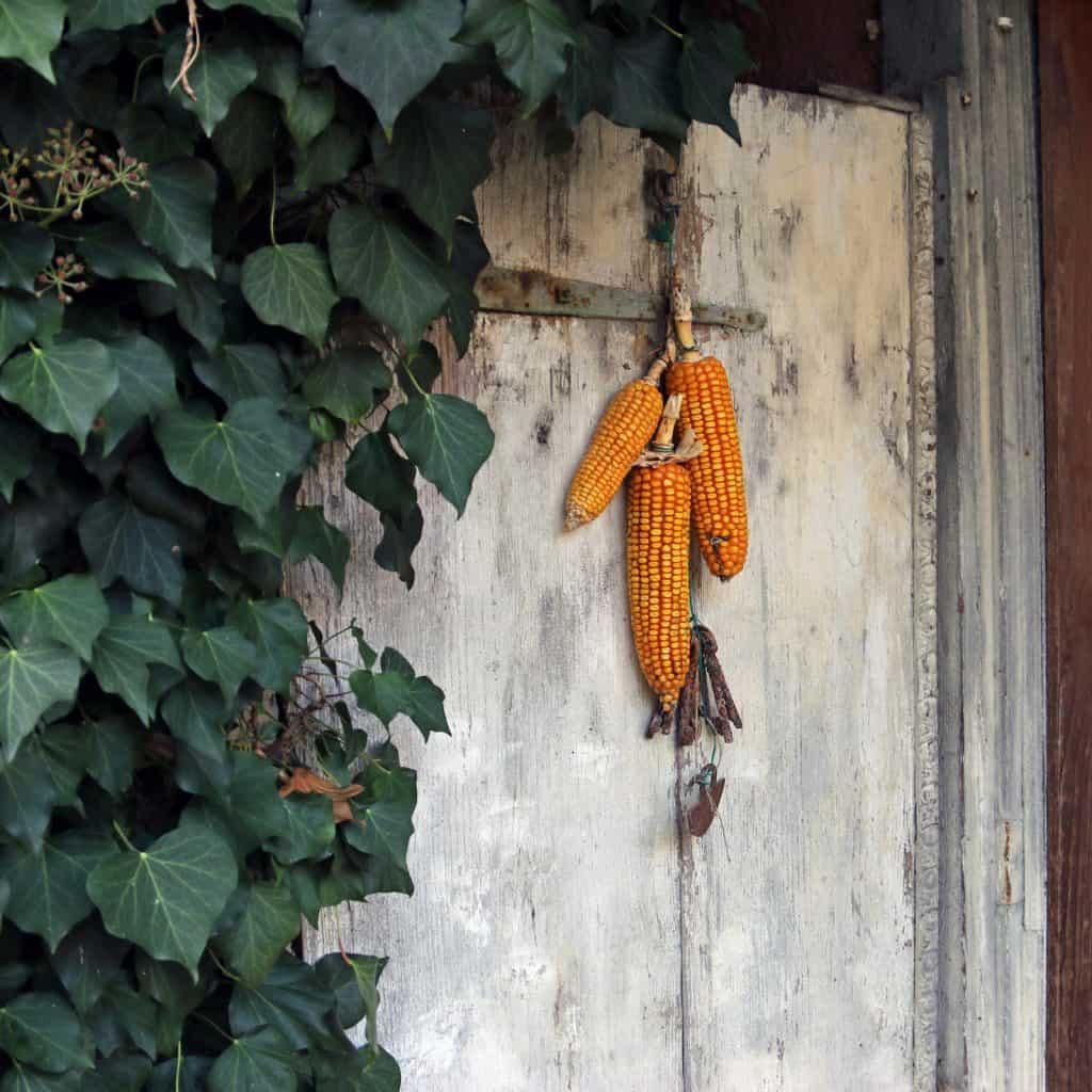 Drei Maiskolben hängen an der Tür.