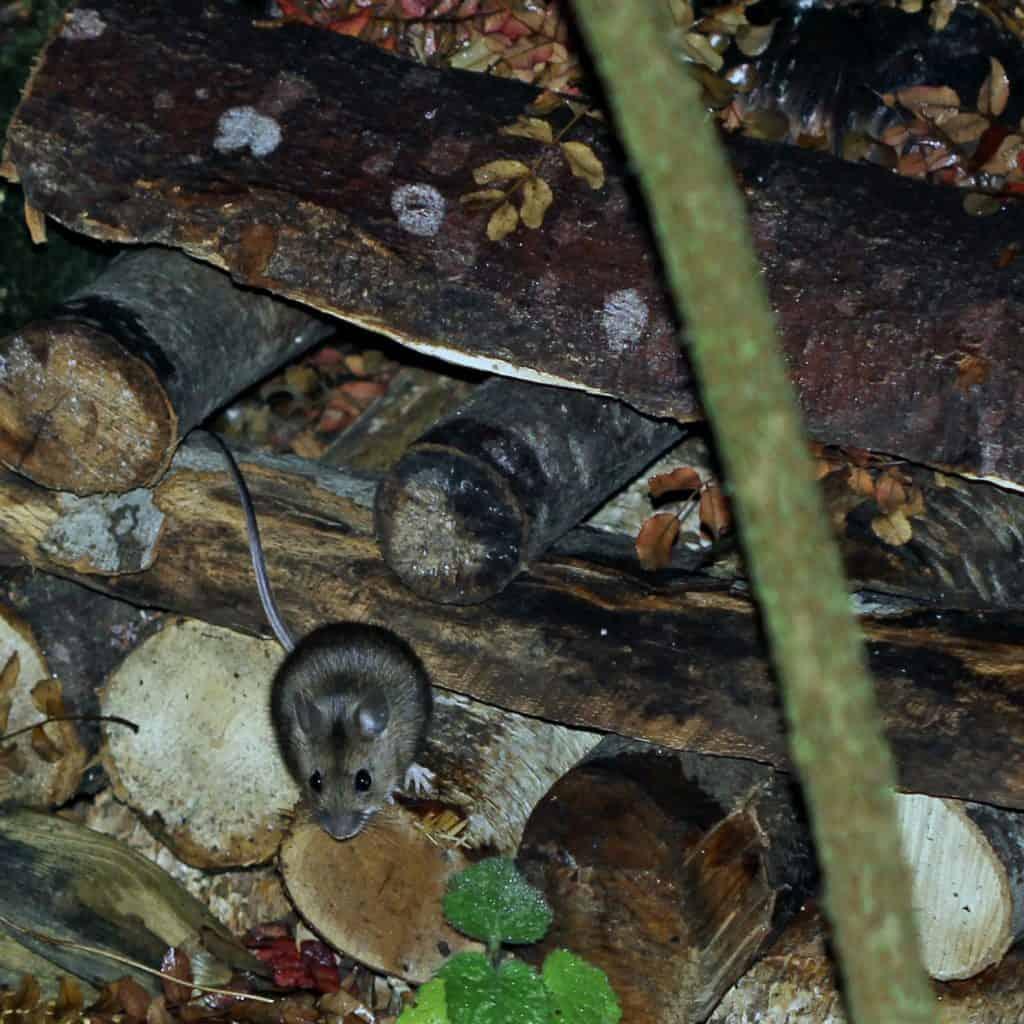 Eine Waldmaus versteckt sich im Holzstapel.
