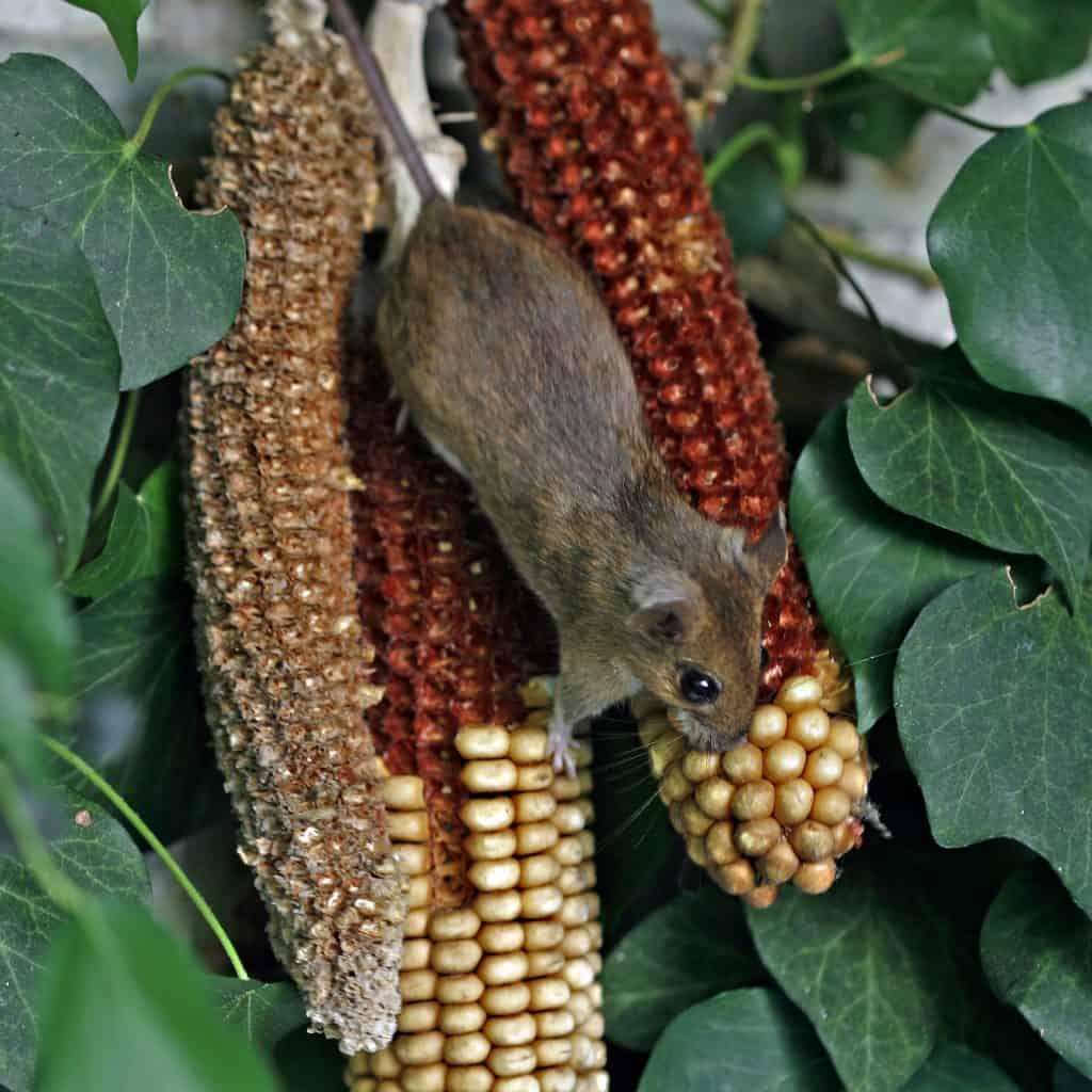 Die Waldmaus turnt an dem Mais umher.