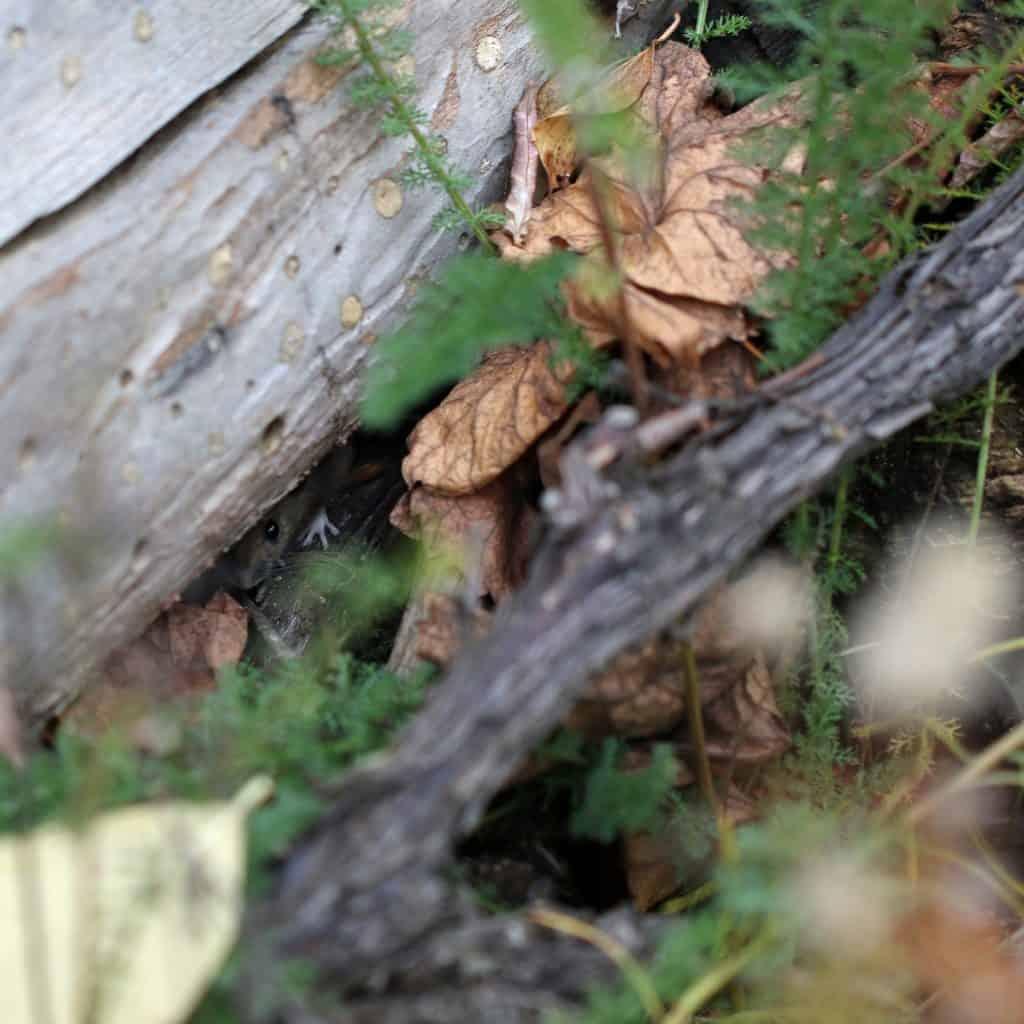 Eine Waldmaus versteckt sich unter einem Baum.