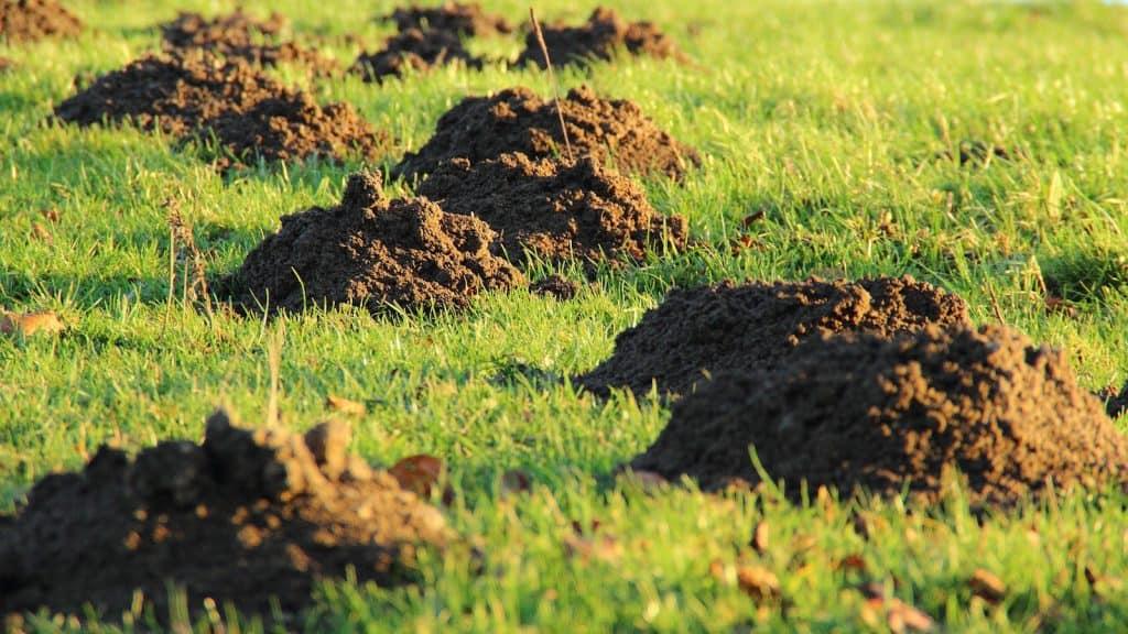 Maulwurfshügel im Feld bringen Ärger für die Landwirtschaft.