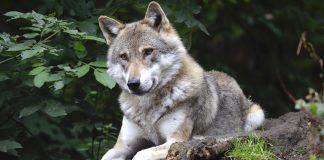 Ein Wolf liegt im Wald.