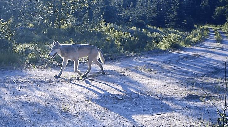 Wolf auf einem Pfad.