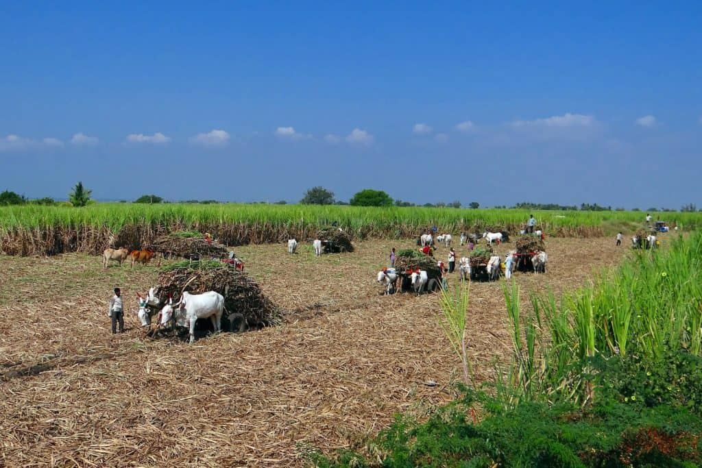 Feld auf dem Zuckerrohr geerntet wird.