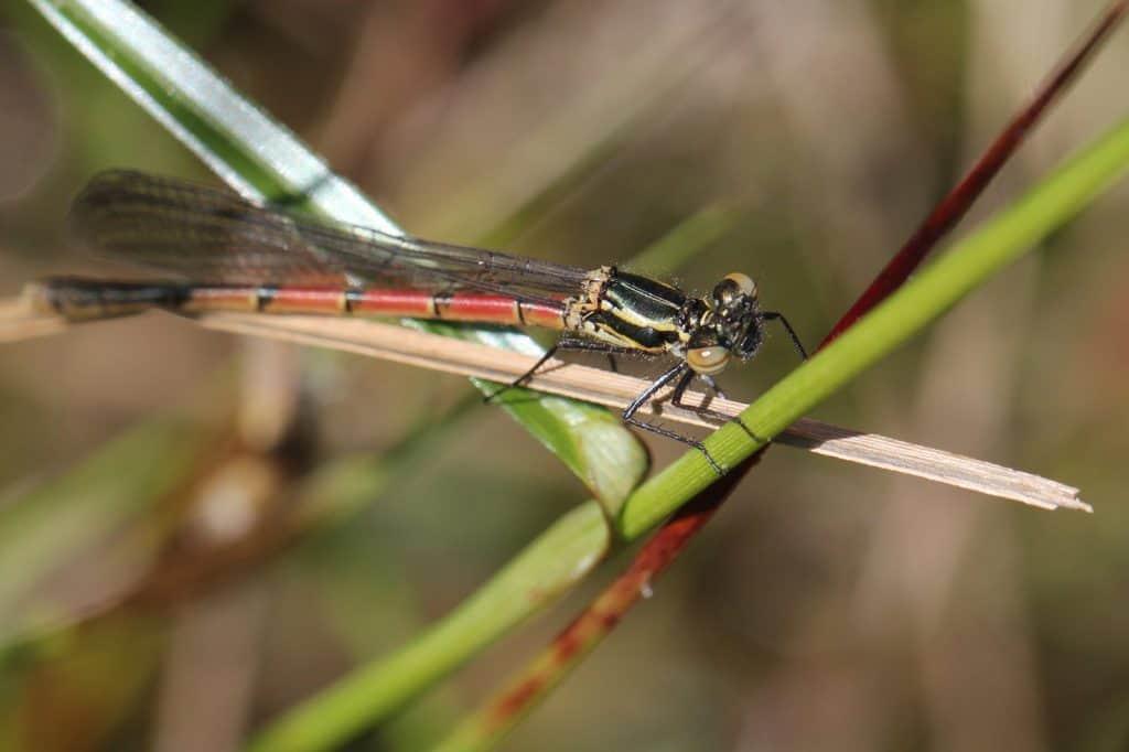 Die Adonislibelle ist die frühste Libelle die schlüpft.