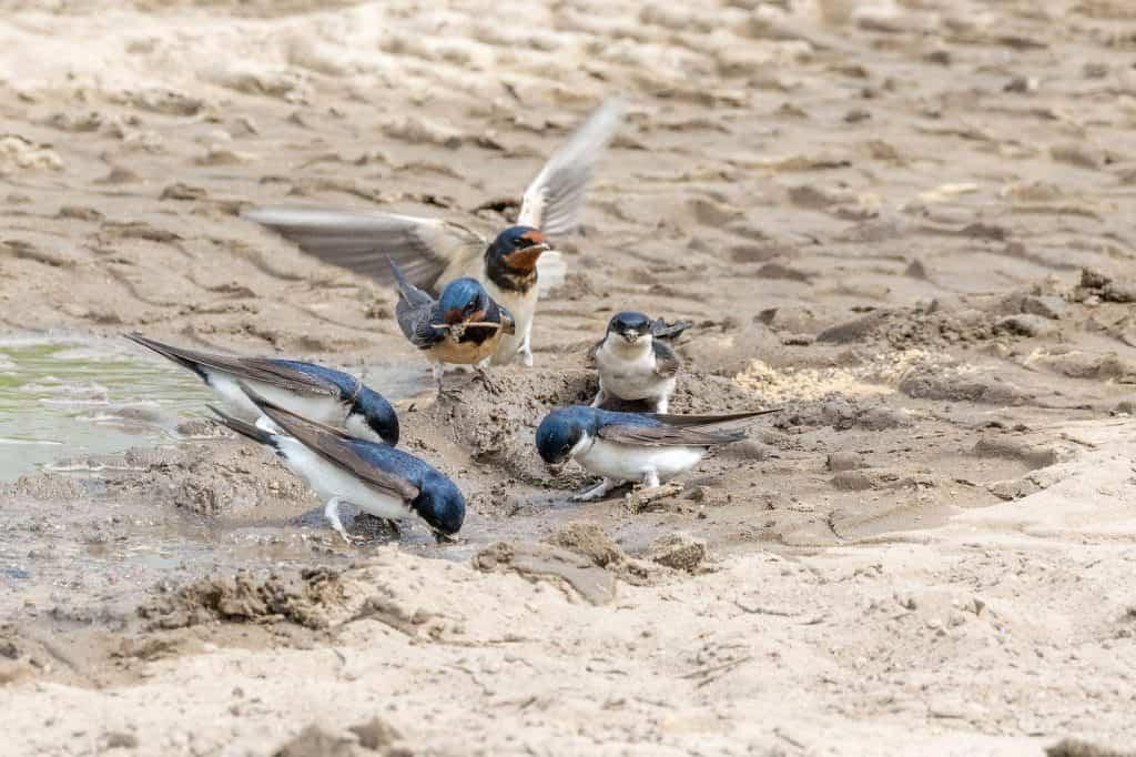 Mehlschwalben suchen im Lehm Material für ihre Nester.