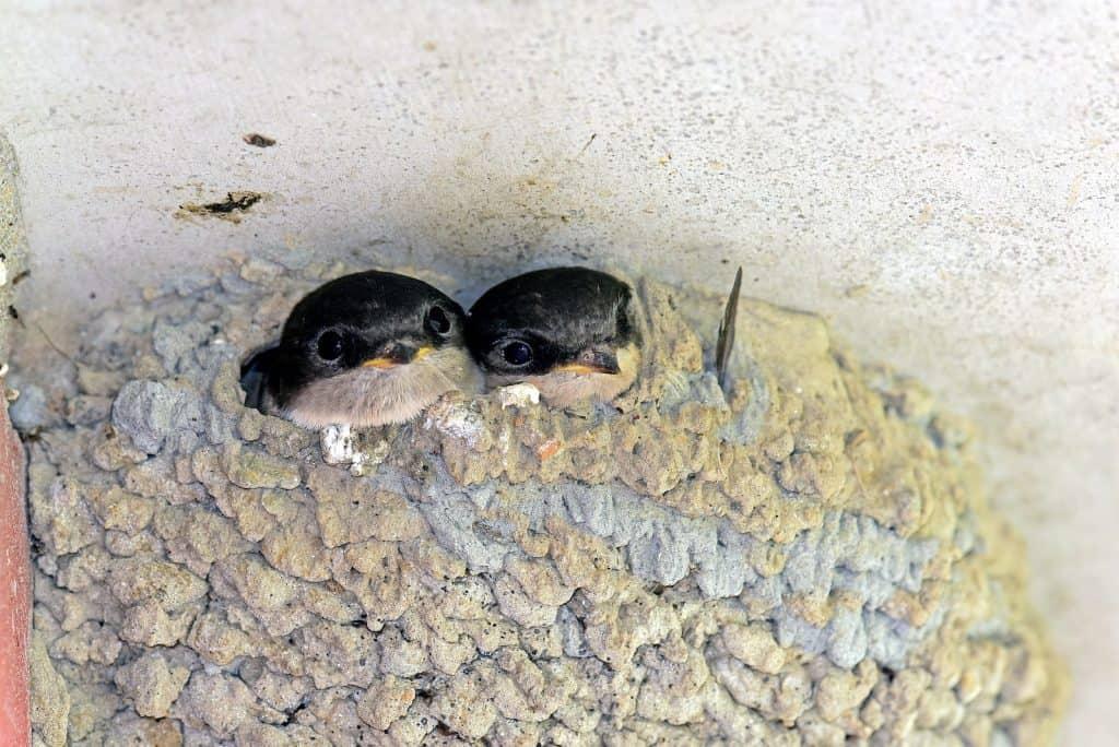 Nest von Mehlschwalben besteht aus Lehmkügelchen.
