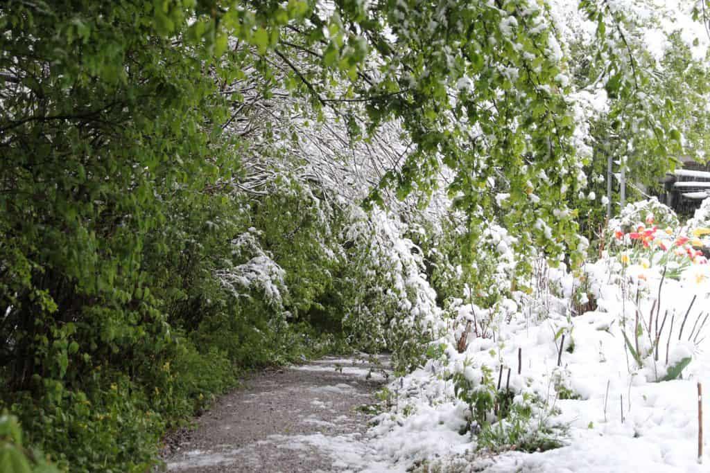 Schnee im Frühlingsgarten.