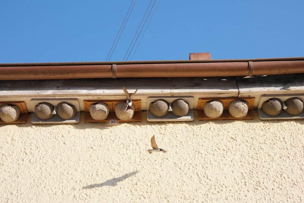 Schwalben fliegen Nester unter dem Dachrinne an.