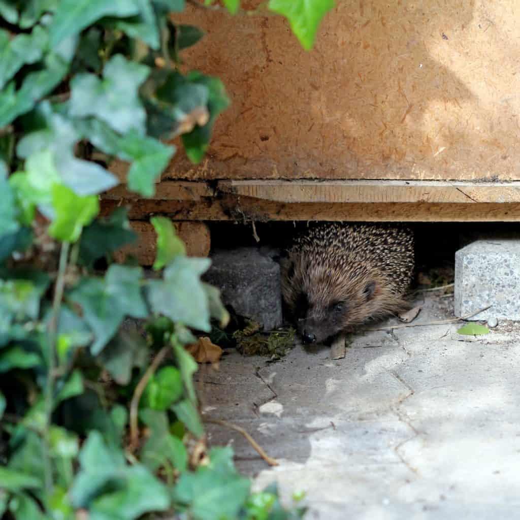 Igel schaut aus seinem Tagesversteck, einer Kiste, heraus.