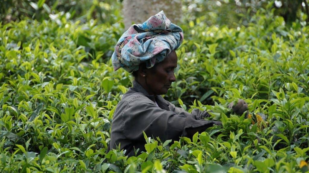 Eine Pflückerin auf einer Teeplantage.