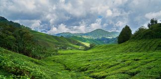 Es ist gut möglich, dass eine solche konventionelle Teeplantage mit Pestizid belastet ist.