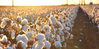 Ein Baumwolle Feld, das mit Pestiziden gespritzt wird.