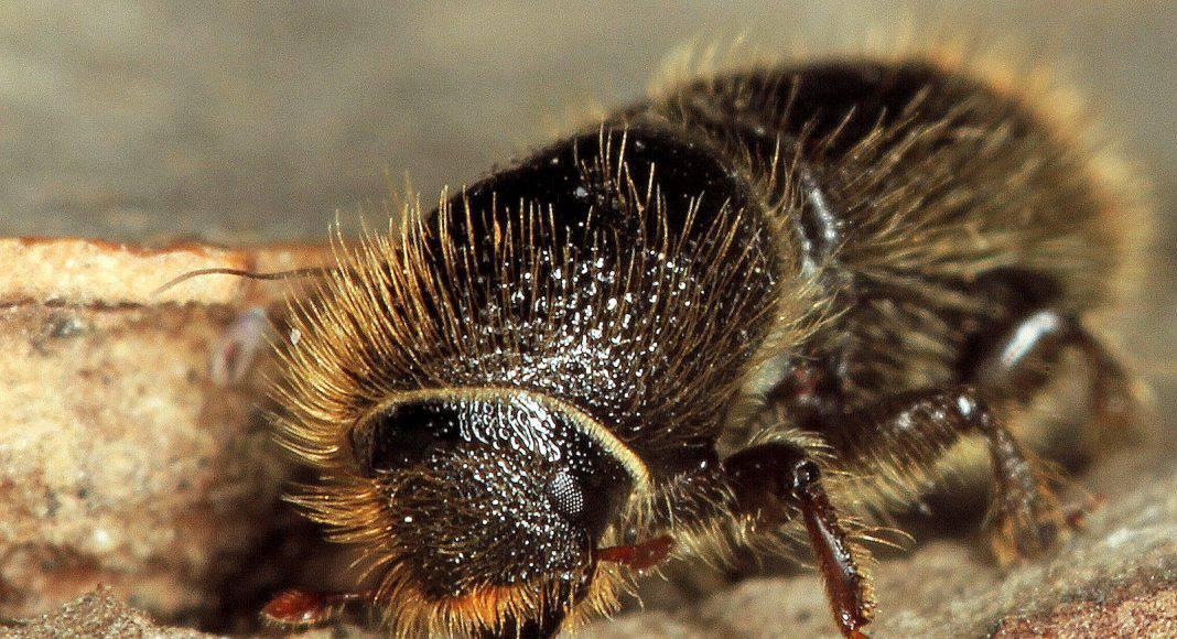 Borkenkäfer ist ein Schädling für den Forstwirtschaft.