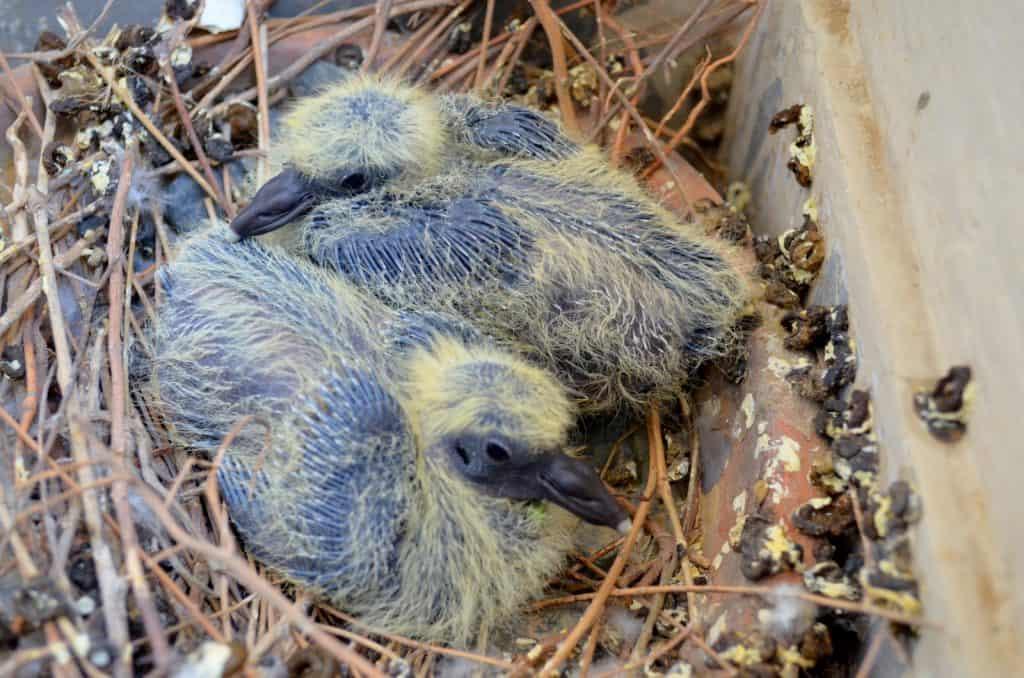 Junge Tauben im Nest.